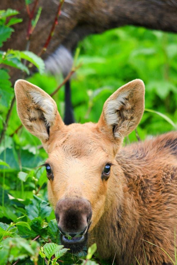 Alimenta??o nova da vitela dos alces de Alaska foto de stock royalty free