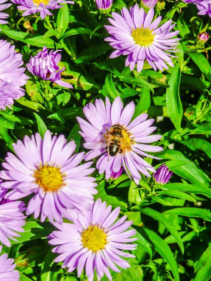Alimentación apícola de las flores del aster imágenes de archivo libres de regalías