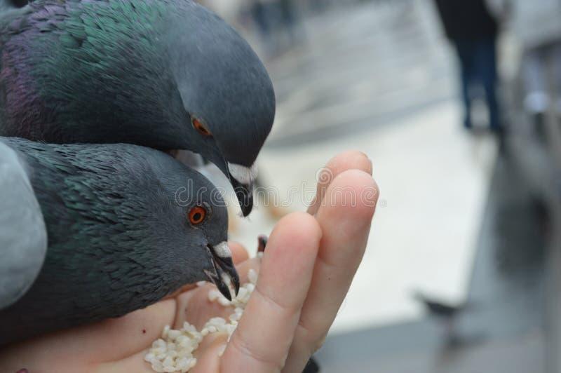 Alimentación de algunas palomas imagen de archivo