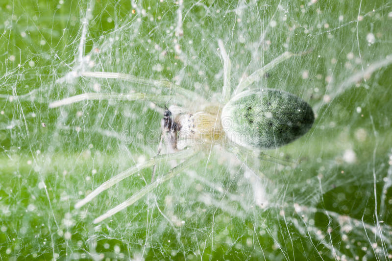 Alimentación de la araña imágenes de archivo libres de regalías
