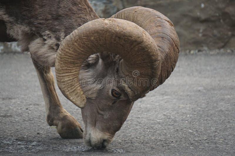 Alimentación de la cabra salvaje imagen de archivo libre de regalías