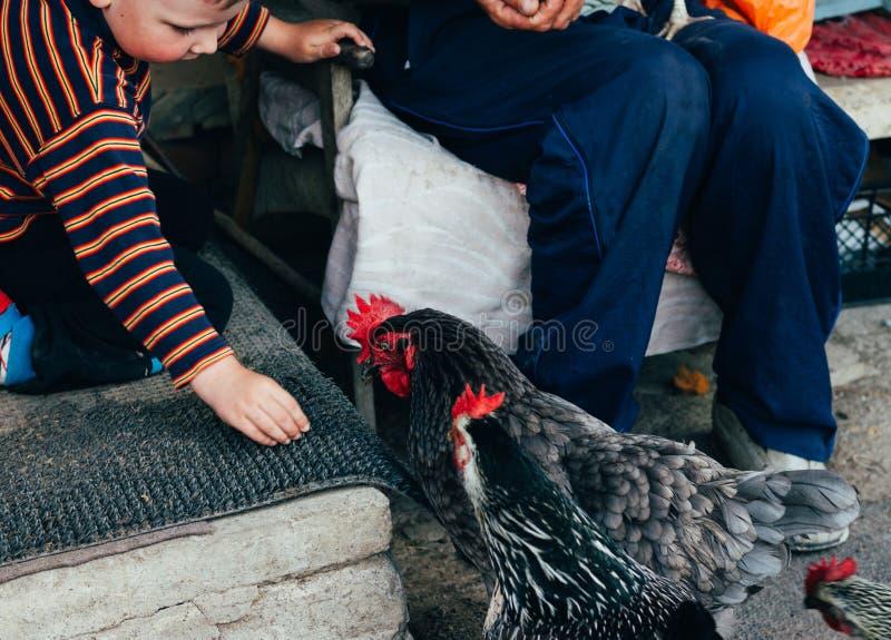 Alimentación de la gallina alimentan el muchacho y el hombre desde las manos un pollo negro con un peine rojo imágenes de archivo libres de regalías