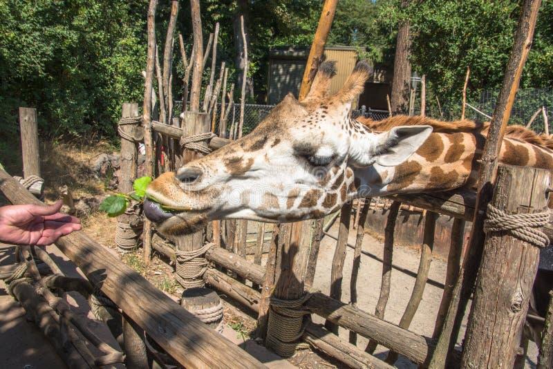 Alimentación de la jirafa en el parque zoológico imagenes de archivo