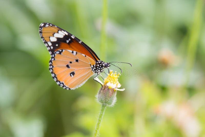 Alimentación de la mariposa foto de archivo