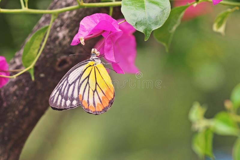 Alimentación de la mariposa imagen de archivo libre de regalías