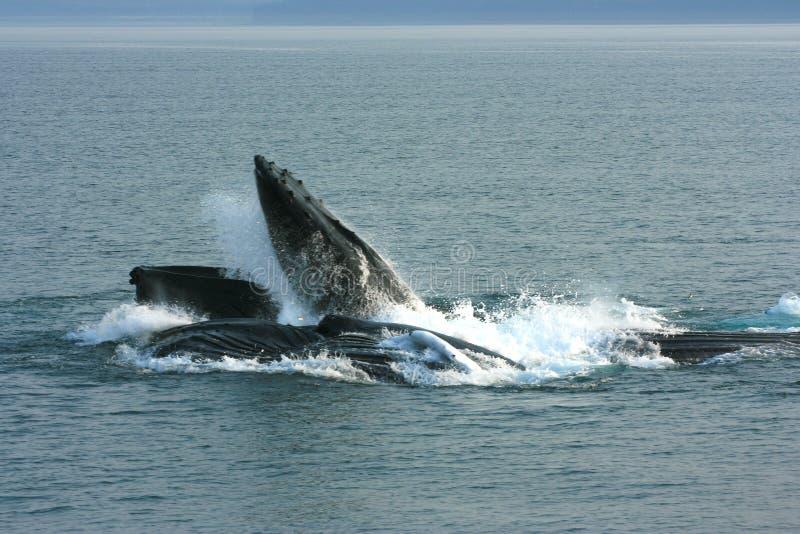 Alimentación de las ballenas jorobadas fotos de archivo libres de regalías