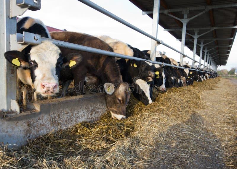 Alimentación de las vacas imagenes de archivo