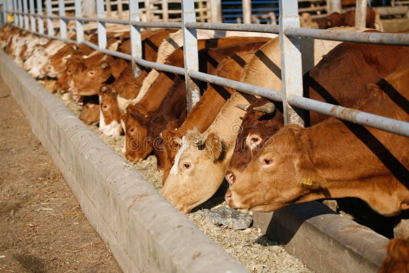 Alimentación de las vacas imágenes de archivo libres de regalías