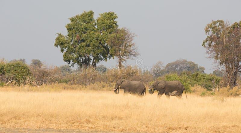 Alimentación de los elefantes fotos de archivo libres de regalías