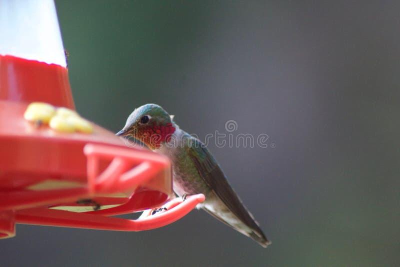 Alimentación de los pájaros del tarareo imágenes de archivo libres de regalías