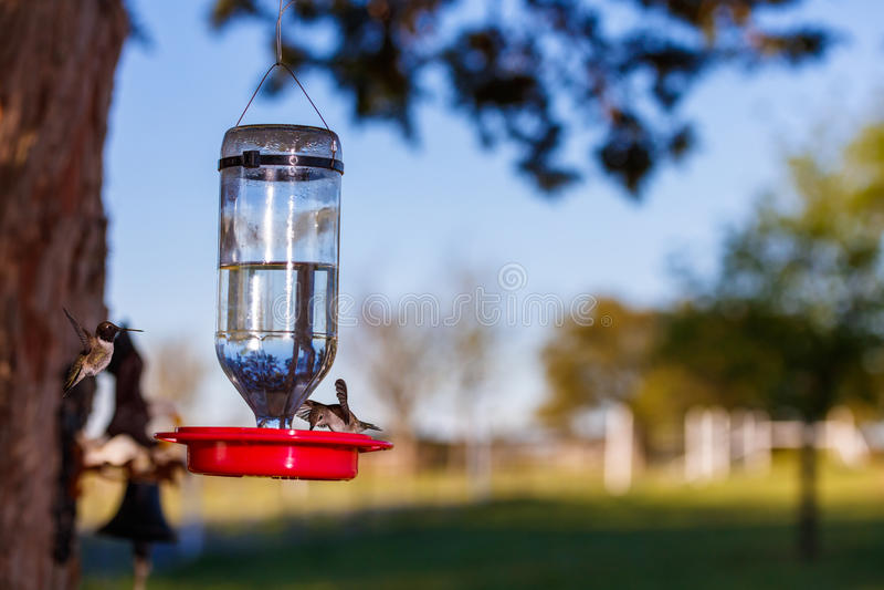 Alimentación de los pájaros del tarareo imagen de archivo