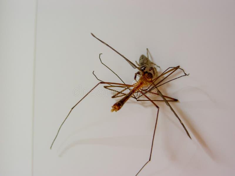 Alimentación de salto de la araña foto de archivo libre de regalías