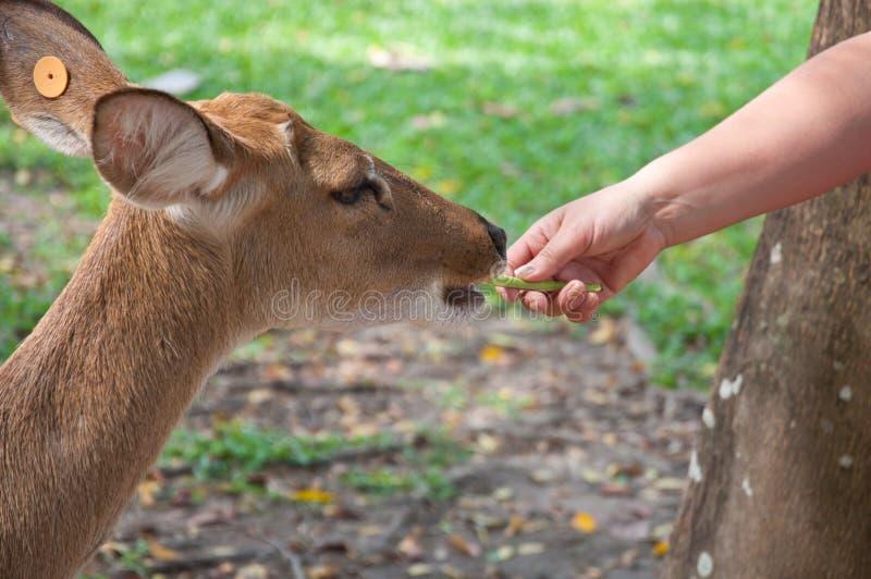 Alimentación de un ciervo fotografía de archivo libre de regalías
