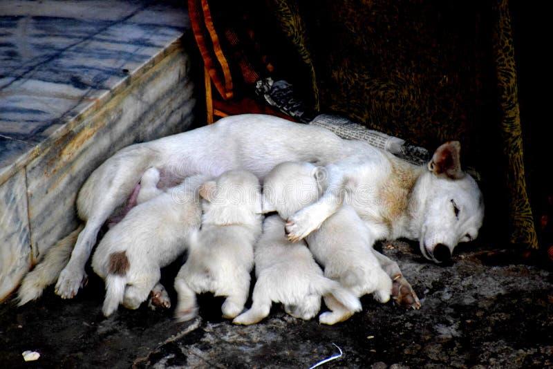 Alimentación de un perro de la madre con los perritos imagenes de archivo