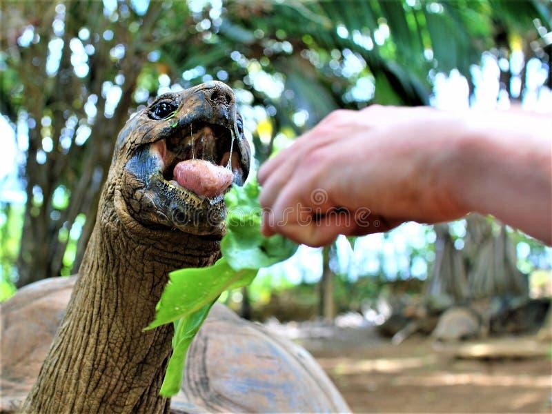 Alimentación de una tortuga en parque de naturaleza de la vainilla en la isla de Mauricio imagen de archivo