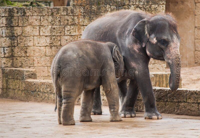 Alimentación del becerro del elefante de la hembra fotos de archivo libres de regalías