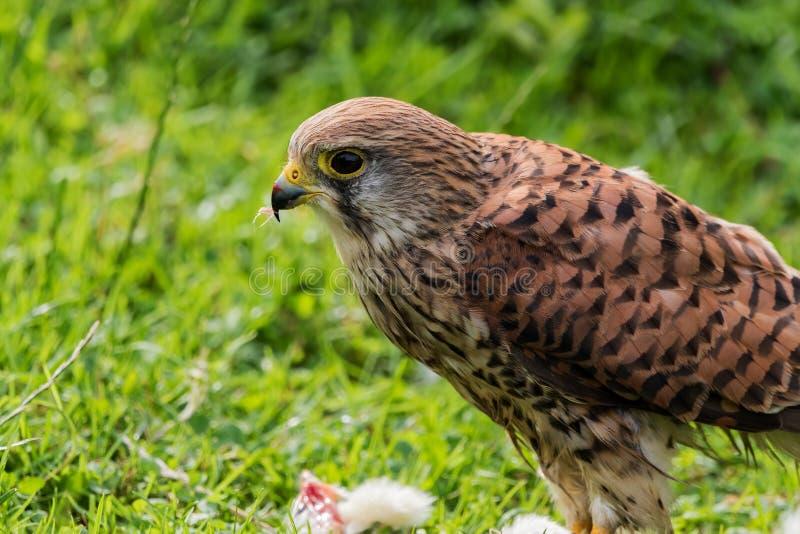 Alimentación del halcón de Peregrin del tinnunculus de Falco imágenes de archivo libres de regalías