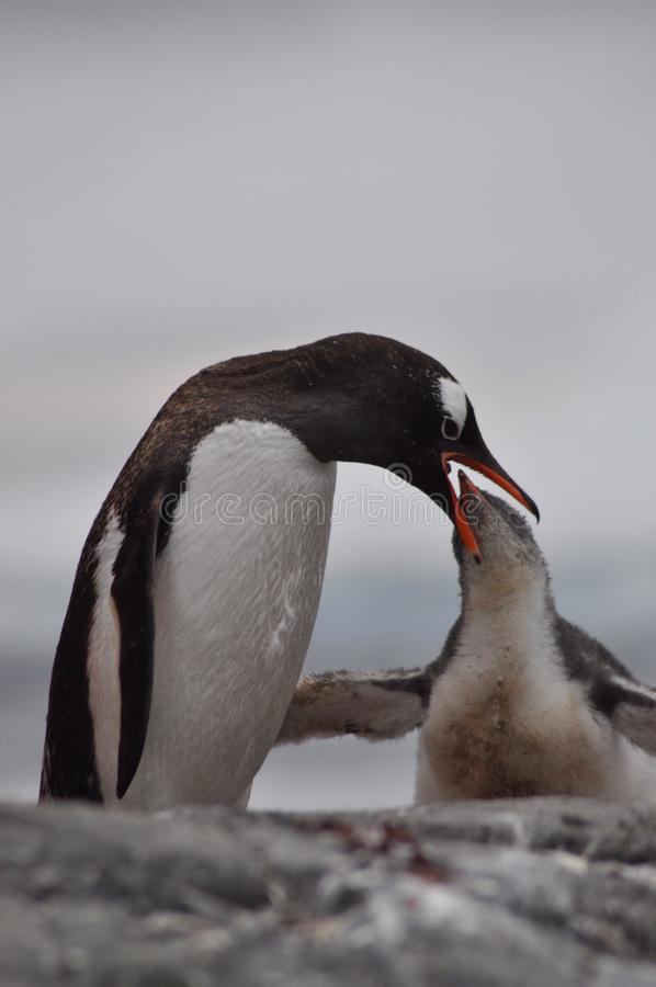 Alimentación del pingüino fotografía de archivo
