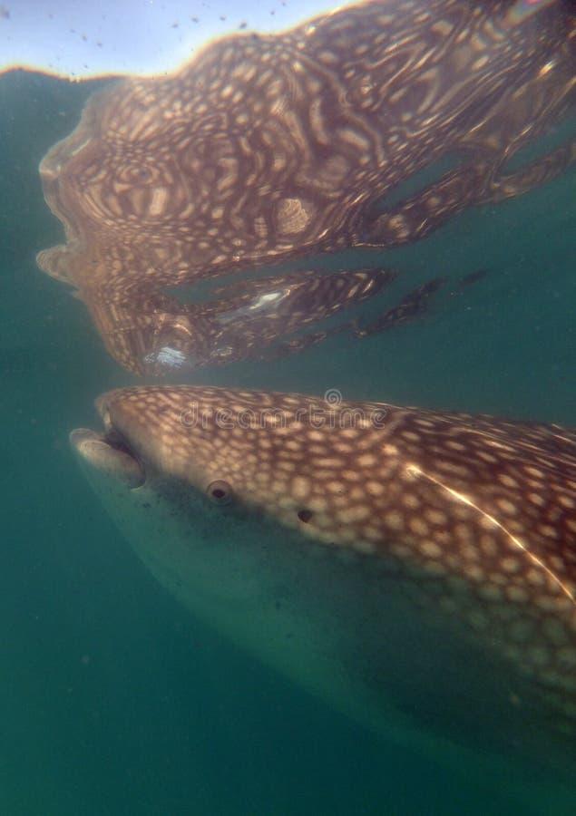 Alimentación del tiburón de ballena imágenes de archivo libres de regalías