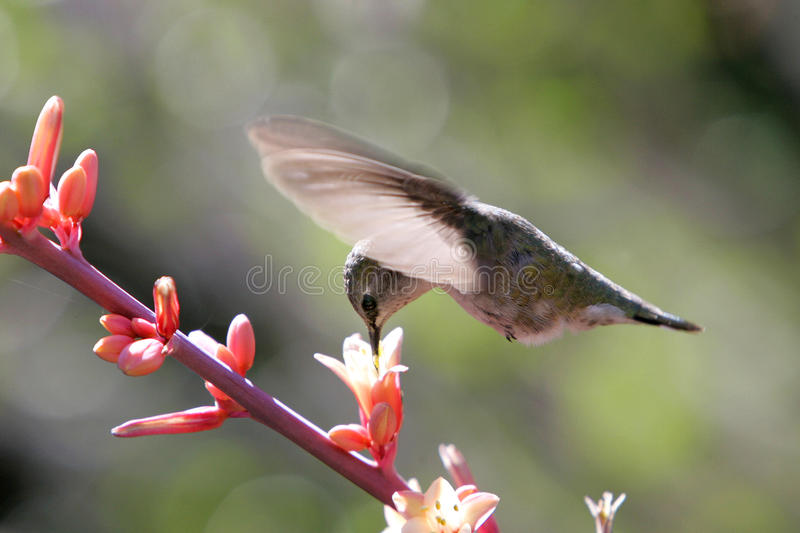 Alimentación femenina del colibrí foto de archivo