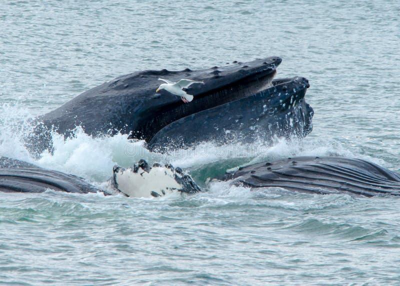 Alimentación neta de la burbuja de las ballenas fotos de archivo libres de regalías