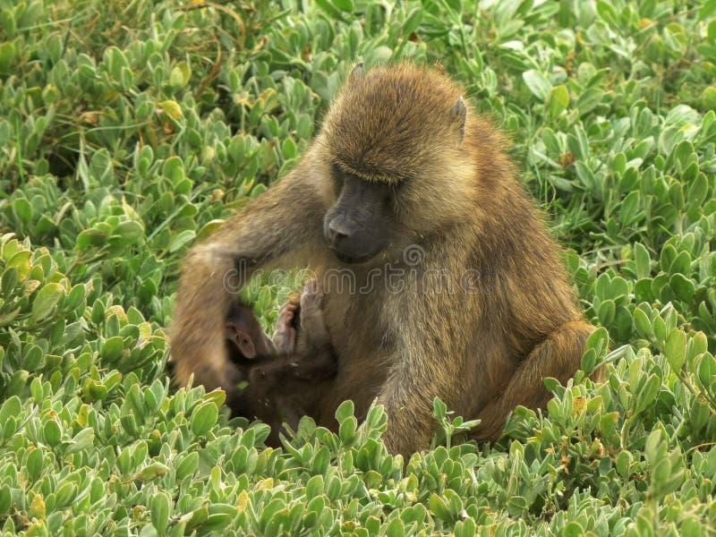 Alimentaciones verdes olivas de un babuino de la madre en las hojas con su bebé en el parque nacional del amboseli fotos de archivo libres de regalías