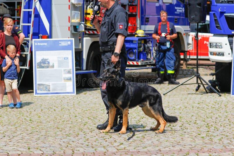 Alimentador de cão alemão da polícia com um cão pastor da polícia foto de stock