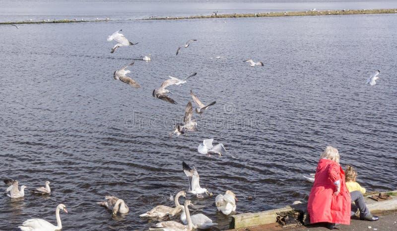 Alimentando às gaivota Escócia imagens de stock