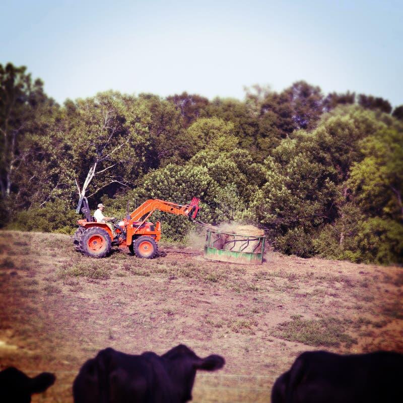 Alimentando as vacas imagem de stock