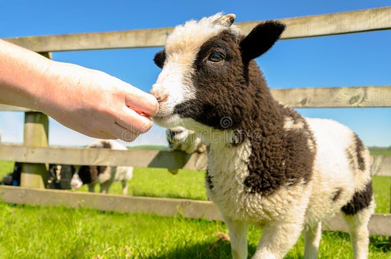 Alimentando la cabra embrome en el centro del visitante de la granja imagen de archivo