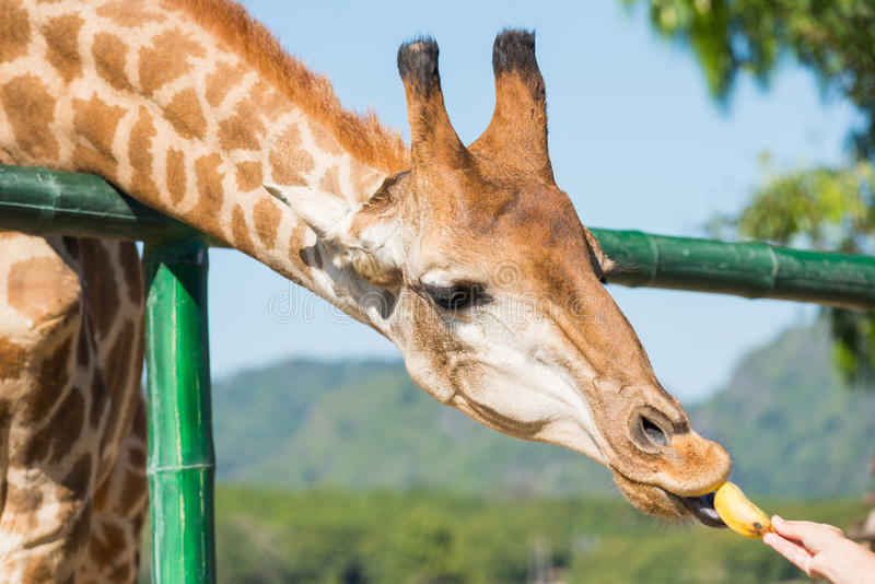 Alimentando los animales, las jirafas comen plátanos en el parque zoológico público imagen de archivo