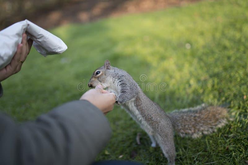 Alimentando o esquilo no parque dos Valentim imagem de stock