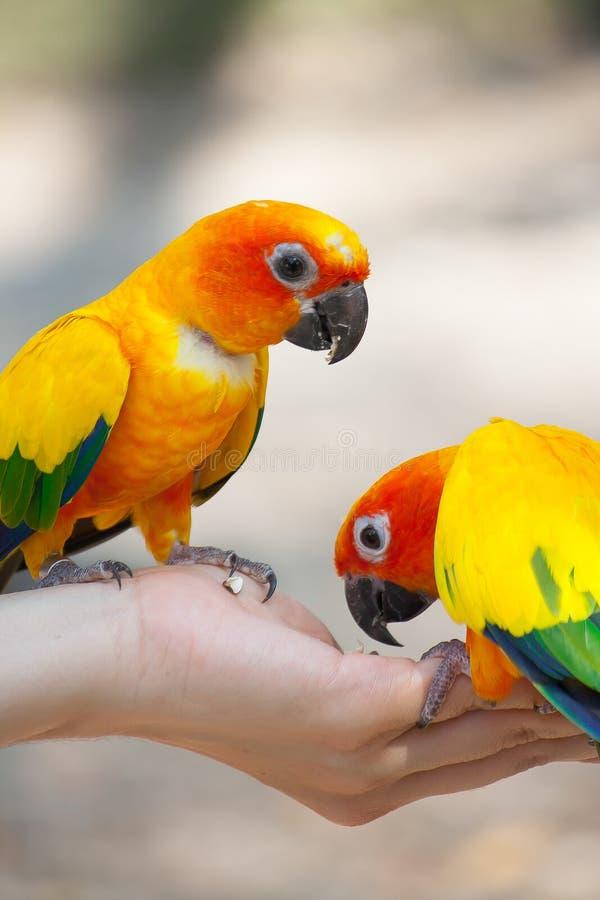 Alimentando o pássaro do amor na mão imagens de stock