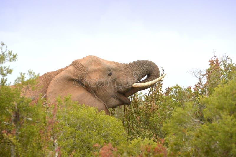 Alimentando o retrato elefante sul-africano fotografia de stock