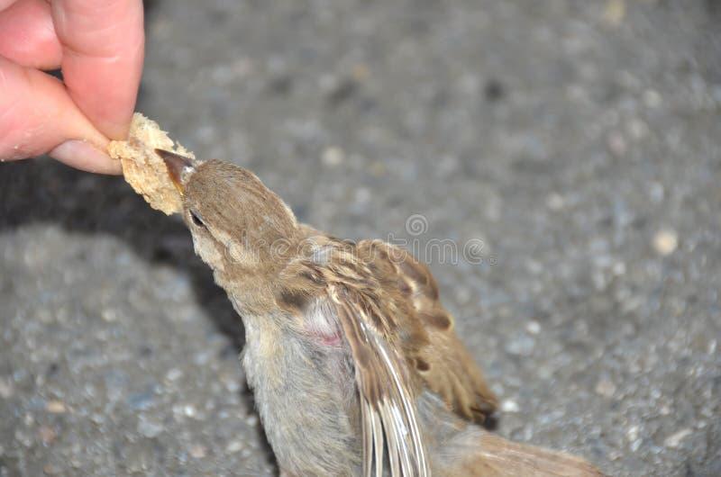 Alimentando os pardais fotografia de stock