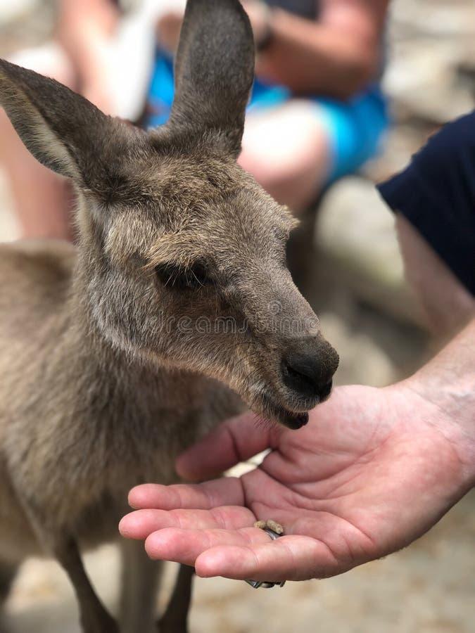 Alimentando um canguru imagem de stock