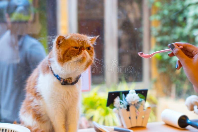 Alimentando um gato alaranjado adorável fotos de stock royalty free