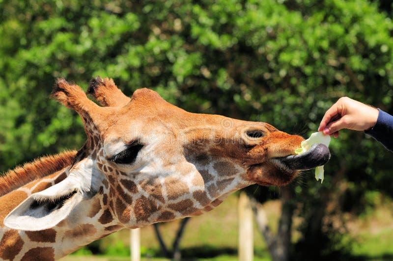 Alimentando um Giraffe foto de stock