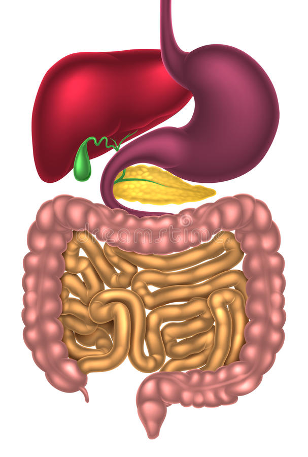 Alimentary Canal Digestive System. Human digestive system, digestive tract or alimentary canal stock illustration