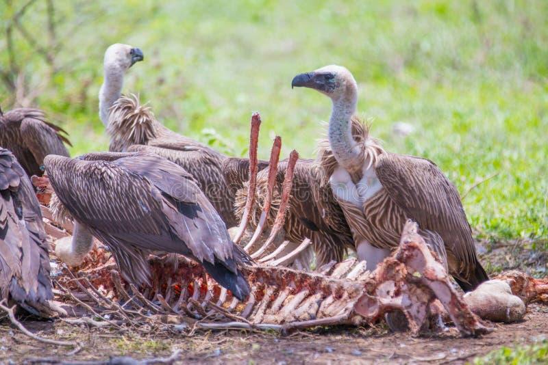 Alimentation à dos blanc de vautours image libre de droits