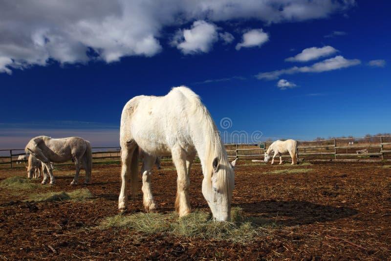 Alimentation bonne de cheval blanc sur le foin avec trois chevaux à l'arrière-plan, ciel bleu-foncé avec des nuages, Camargue, Fr image stock