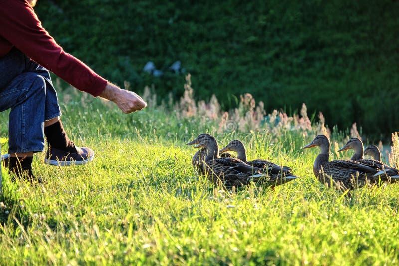 Alimentation canards images libres de droits