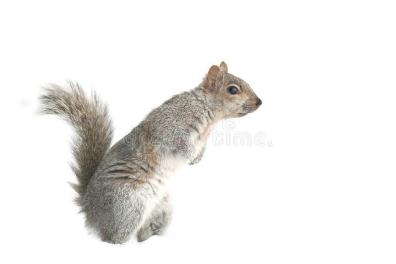 Alimentation d'écureuil d'isolement image libre de droits