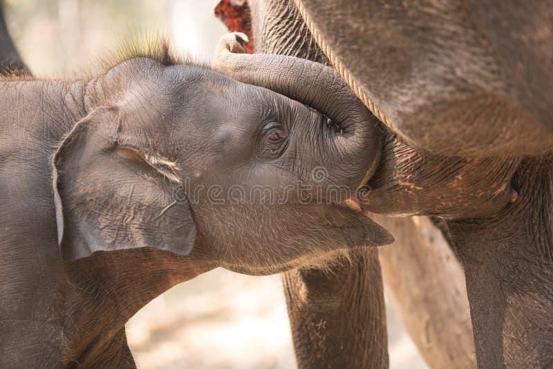 Alimentation d'éléphant photographie stock