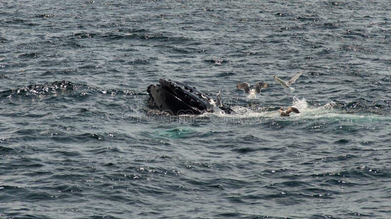 Alimentation de baleines de bosse images libres de droits