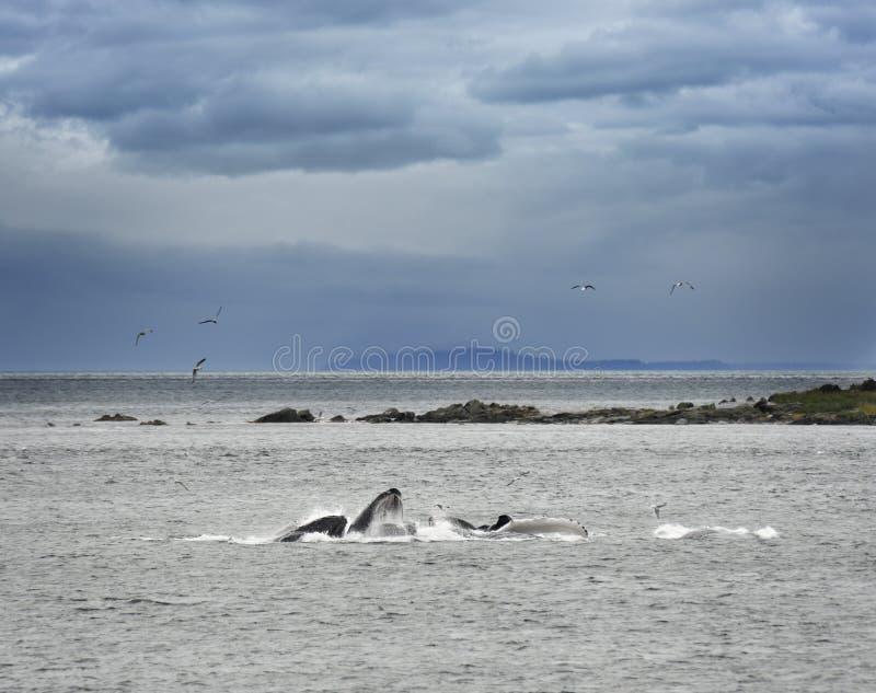 Alimentation de baleines de bosse photo libre de droits