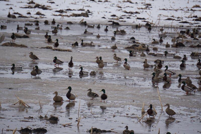 Alimentation de champ de canards photo stock
