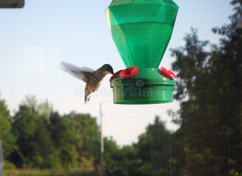 Alimentation de colibri images stock