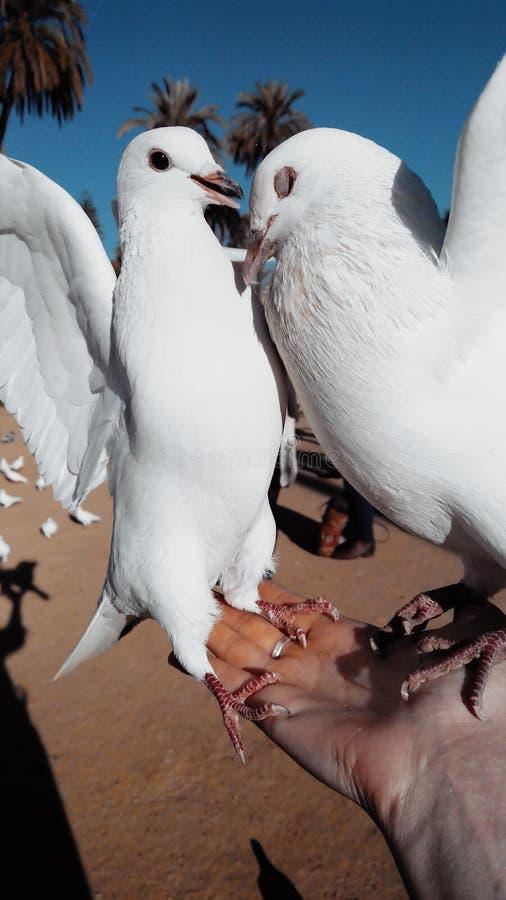 Alimentation de deux colombes blanches se reposant et luttant sur une main du ` s de femme images stock