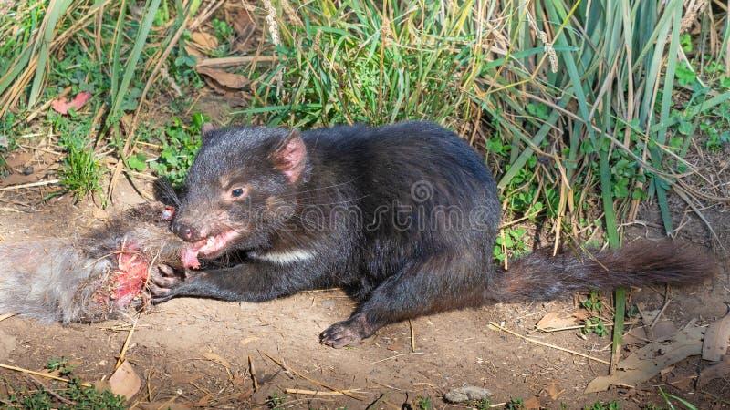 Alimentation de diable tasmanien photographie stock